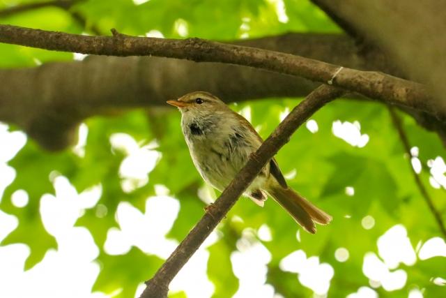Bush warbler
